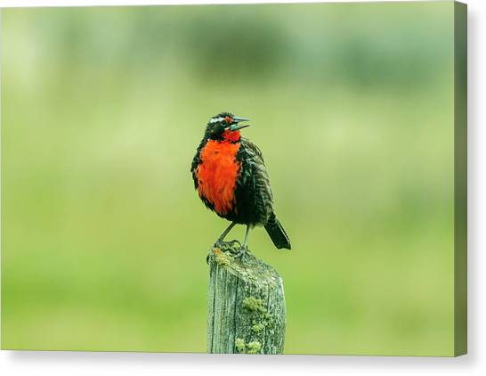 Meadowlarks Canvas Print - Chile, Patagonia by Jaynes Gallery