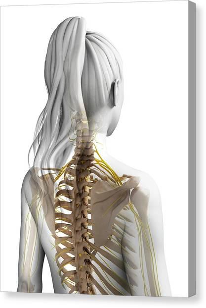 Female Nervous System Canvas Print by Sebastian Kaulitzki