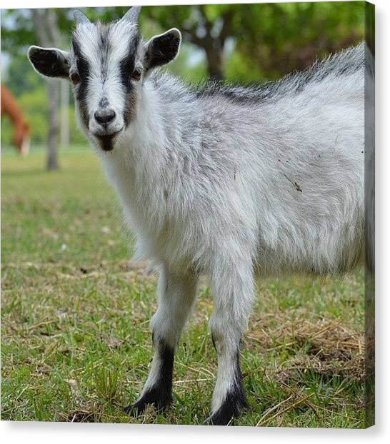 Goats Canvas Print - Dirty Goat by Jessica Thomas