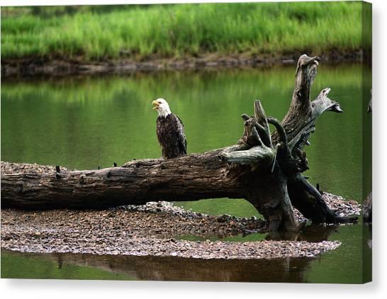 Cabot Trail Canvas Print - A Bald Eagle, Haliaeetus Leucocephalus by Darlyne A. Murawski