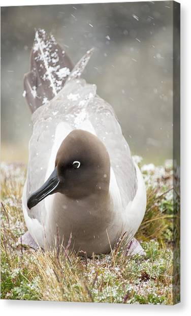 Albatross Canvas Print - A Light Mantled Albatross by Ashley Cooper