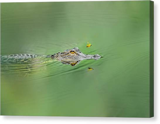 Alligator Canvas Print