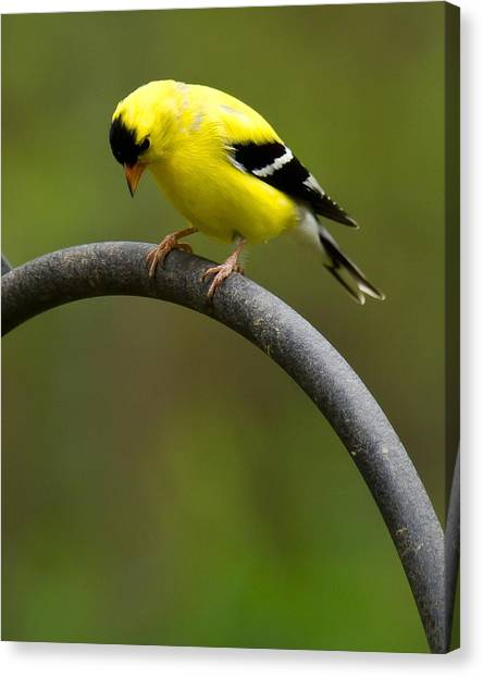 Canvas Print featuring the photograph American Goldfinch by Robert L Jackson