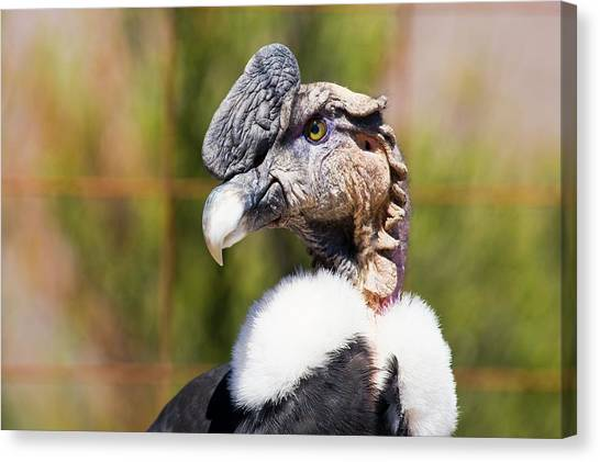 Condors Canvas Print - Andean Condor by Philippe Psaila/science Photo Library