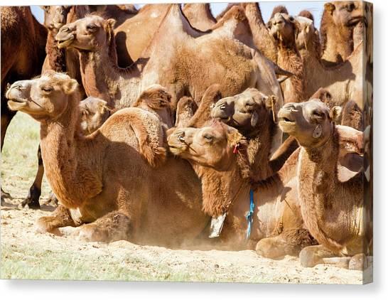 Gobi Canvas Print - Bactrian Camel Herd by Tom Norring