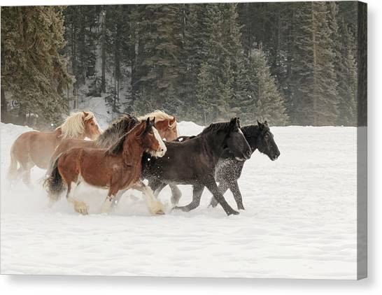 Draft Horses Canvas Print - Belgian Horse Roundup In Winter by Adam Jones