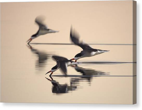 3 Black Skimmers  382z3059 Canvas Print