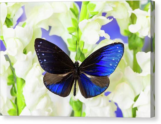 Snapdragons Canvas Print - Blue Crow Butterfly, Euphoea Mulciber by Darrell Gulin