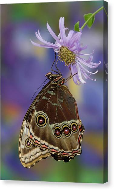 Blue Camo Canvas Print - Blue Morpho Butterfly, Morpho Peleides by Darrell Gulin