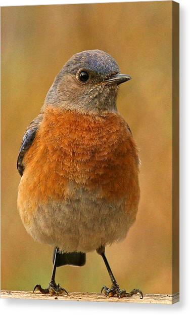 Bluebird Canvas Print