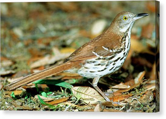 Florida State Bird Canvas Prints Page 12 Of 47