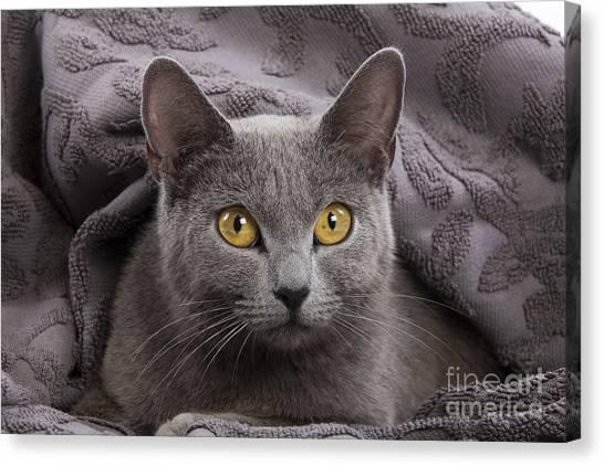 Chartreuxes Canvas Print - Chartreux Cat by Jean-Michel Labat