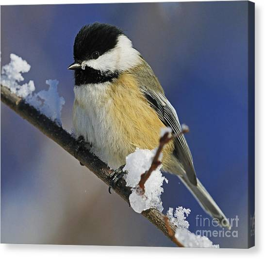 Winter Chickadee... Canvas Print