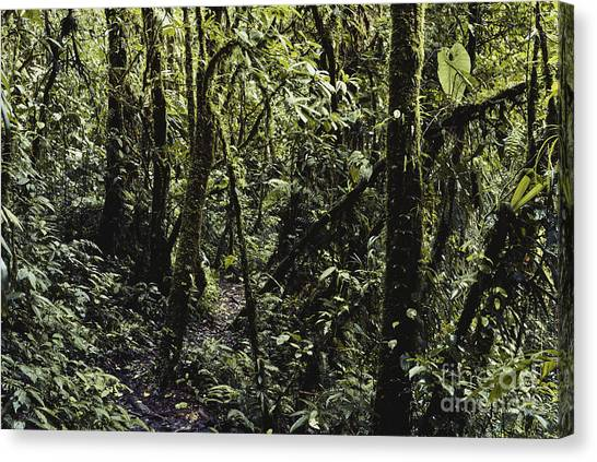 Monteverde Canvas Print - Costa Rican Cloud Forest by Gregory G. Dimijian, M.D.