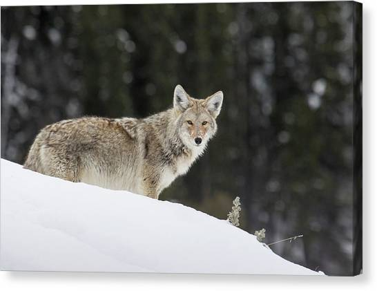 Wolves Canvas Print - Coyote In Winter by Ken Archer