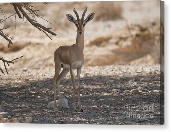 Negev Desert Canvas Print - Dorcas Gazelle Gazella Dorcas by Eyal Bartov
