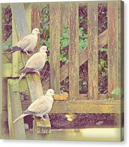 Dove Canvas Print - #3 #doves In My Mother In Law #garden by Alexandra Cook