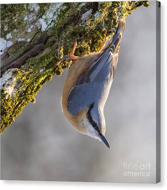 Eurasian Nuthatch Canvas Print