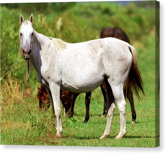 Florida Cracker Horse Canvas Prints Fine Art America