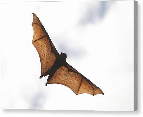 Flying Bat Canvas Print