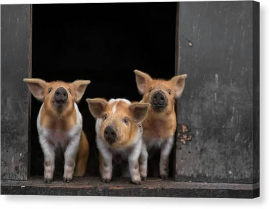 Pig Farms Canvas Print - 3 by Gert Van Den