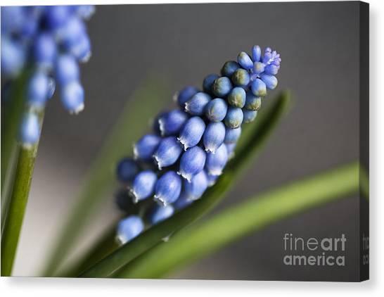 Grapes Canvas Print - Grape Hyacinth by Nailia Schwarz