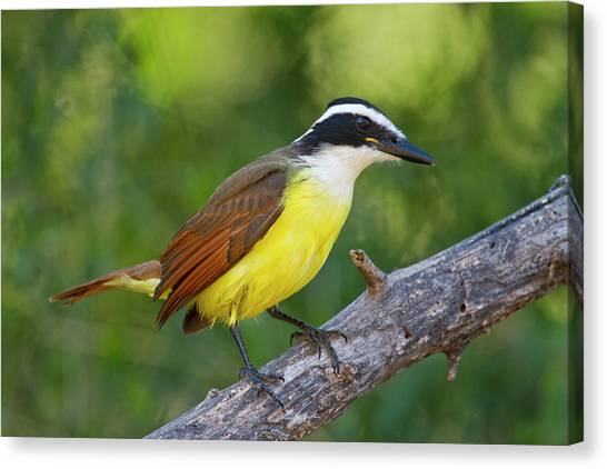 Flycatchers Canvas Print - Great Kiskadee (pitangus Sulphuratus by Larry Ditto