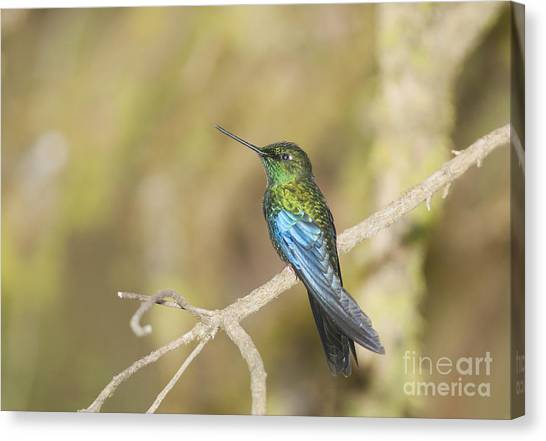Great Sapphirewing Hummingbird Canvas Print
