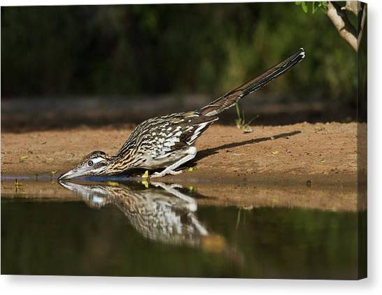 Roadrunner Canvas Print - Greater Roadrunner (geococcyx by Larry Ditto