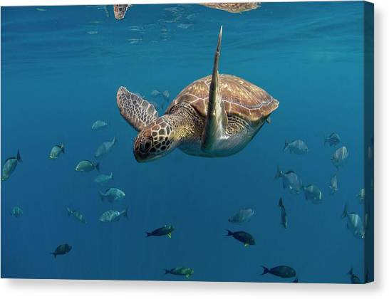 Green Turtle Swimming Canvas Print by Peter Scoones/science Photo Library