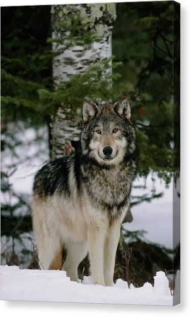 Canvas Print - Grey Wolf by William Ervin/science Photo Library