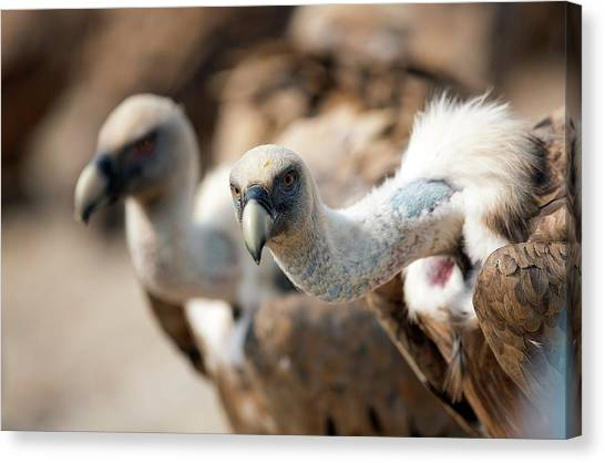 Griffons Canvas Print - Griffon Vultures by Nicolas Reusens