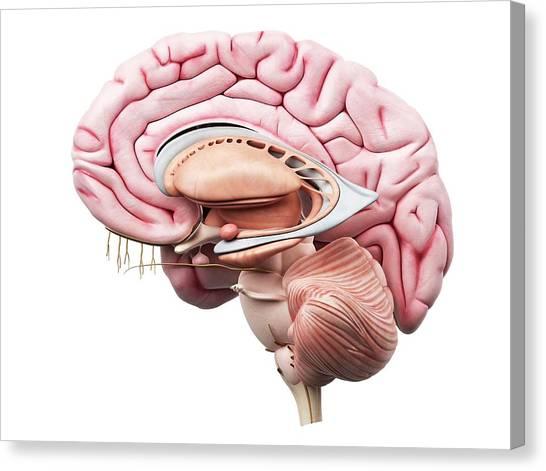 Cut-away Canvas Print - Human Brain by Sciepro
