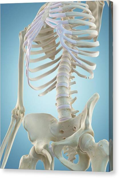 Human Skeletal Structure Canvas Print by Sciepro
