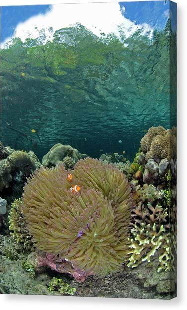 Anemonefish Canvas Print - Indian Ocean, Indonesia, Raja Ampat by Jaynes Gallery