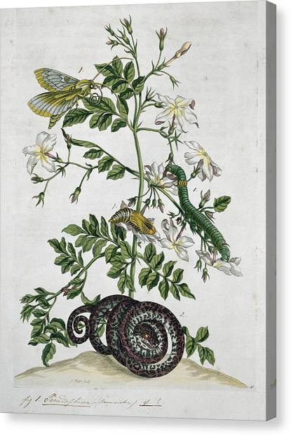 Coral Snakes Canvas Print - Insects Of Surinam, 18th Century by Science Photo Library