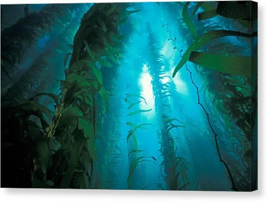 Kelp Forest Canvas Print - Kelp Forest by Greg Ochocki
