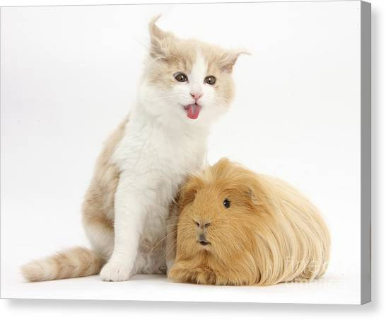 Siberian Cats Canvas Print - Kitten With Guinea Pig by Mark Taylor