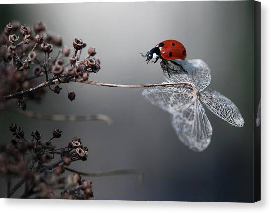 Bug Canvas Print - Ladybird On Hydrangea. by Ellen Van Deelen
