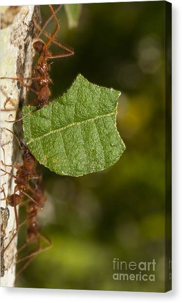 Amazon Rainforest Canvas Print - Leafcutter Ants by William H. Mullins