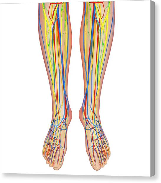 Lower Leg Anatomy Canvas Print by Pixologicstudio/science Photo Library