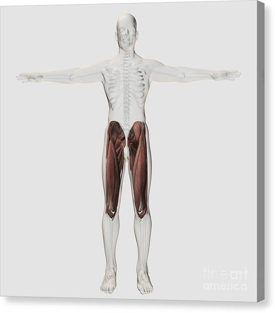 Quadriceps Muscle Canvas Prints | Fine Art America