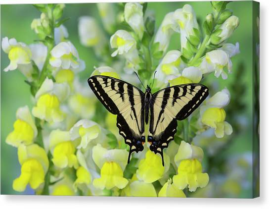 Snapdragons Canvas Print - Male Western Tiger Swallowtail by Darrell Gulin