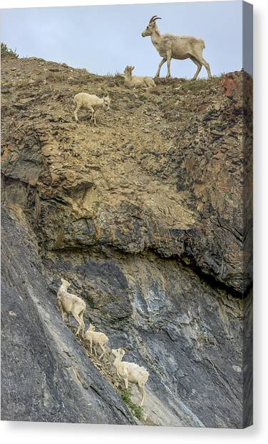Goats Canvas Print - Mountain Goats Along Kongakut River by Tom Norring