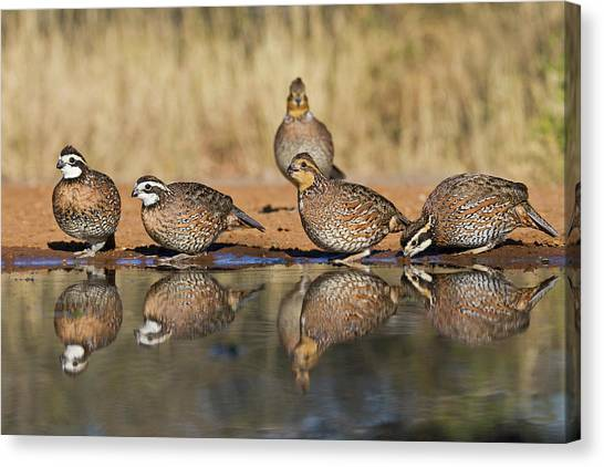 Camouflage Canvas Print - Northern Bobwhite (colinus Virginianus by Larry Ditto