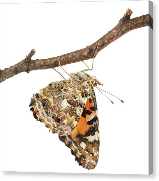 Painted Lady Butterfly Canvas Print by Science Photo Library