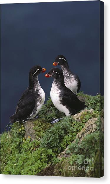 Auklets Canvas Print - Parakeet Auklet by Art Wolfe