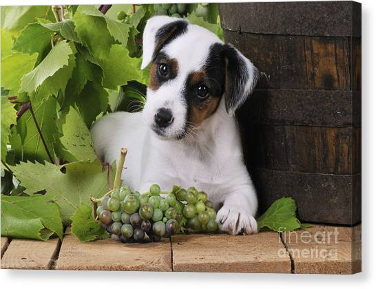 Head Tilt Canvas Print - Parson Russell Terrier Puppy by John Daniels