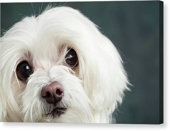 Maltese Canvas Print - Portrait Of A Maltese Dog by Animal Images