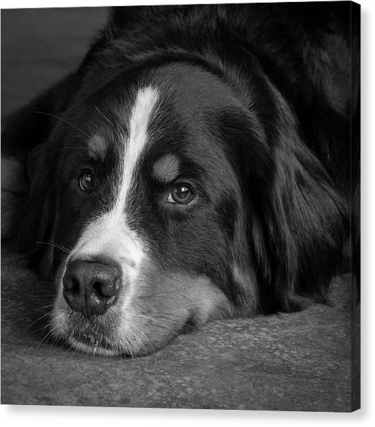 Bernese Mountain Dog Canvas Print - Portrait Of Bernese Mountain Dog by Animal Images